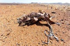 Welwitschiamirabilis, Verbazende woestijninstallatie, het leven fossiel Royalty-vrije Stock Foto
