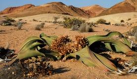 Welwitschiaväxt (Welwitschiamirabilisen) arkivbild
