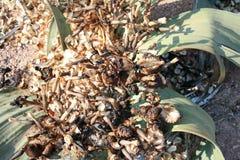 Welwitschiazaden Stock Afbeeldingen
