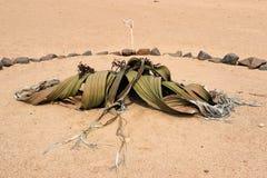Welwitschie-Welwitschia Mirabilis - Namibia Afrika stockfotografie