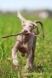 Wemaraner puppy dog Stock Photo