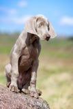 Wemaraner puppy dog Stock Image