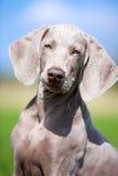 Wemaraner puppy dog Royalty Free Stock Image