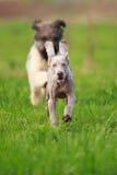 Wemaraner puppy dog Stock Photos
