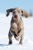 Wemaraner puppy Stock Photography