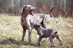 Wemaraner. Puppy and weimar dog Stock Image