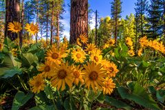Wenatchee National Forest, Washington State. Balsamroot flowers in the Wenatchee National Forest decorate the forest floor stock image