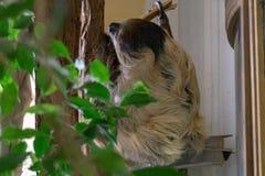 Wenen, Oostenrijk - 25 Februari 2019: De luiaard hangt lui op een boom bij de dierentuin van Wenen Schonbruun royalty-vrije stock afbeeldingen