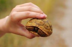 Wenig Überlandschildkröte in den Händen Stockbild