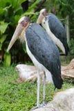 Wenig Adjutantstorch des Tropenvogels Lizenzfreie Stockbilder