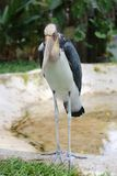 Wenig Adjutantstorch des Tropenvogels Lizenzfreie Stockfotografie