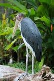 Wenig Adjutantstorch des Tropenvogels Stockbilder
