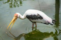 Wenig Adjutantstorch im Wasser am Zoo thailand Stockfotos