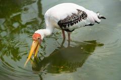 Wenig Adjutantstorch im Wasser am Zoo thailand Stockfotografie