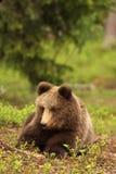 Wenig Bärenjunges, das in das Gras legt stockbilder