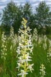 Wenig Basisrecheneinheits-Orchidee Lizenzfreie Stockbilder