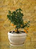 Wenig Baum mit Orangen Lizenzfreies Stockbild