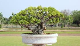 Wenig Baum oder Bonsais Stockfotos