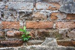 Wenig Baumwachstum auf altem Ziegelsteinwandhintergrund Stockbilder