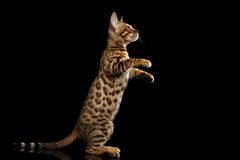 Wenig Bengal Kitty Standing auf Hinterbeinen, lokalisierter schwarzer Hintergrund Stockfoto