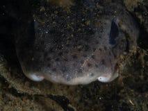 Wenig-beschmutzte kleine Haie, Scyliorhinus-canicula Loch Fyne Tauchen, Schottland stockbilder