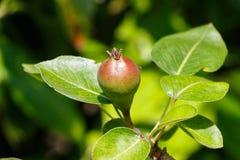 Wenig Birne, die auf einem Birnenbaum reift Lizenzfreies Stockfoto
