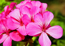 Wenig blaue Blume Pelargonie Lizenzfreies Stockfoto