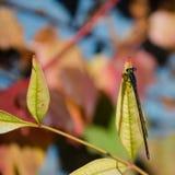 Wenig blaue Libelle gehockt auf einer Niederlassung lizenzfreie stockfotografie