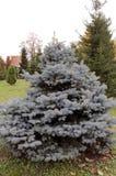 Wenig Blautanne wächst im Park stockbild