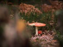 Wenig bunter muxomor Pilz auf einem Baum und Gras Lizenzfreie Stockfotos