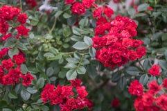 wenig Busch der Rotrose Stockfoto