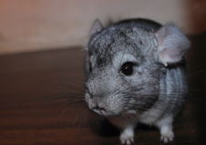 Wenig Chinchilla stockfotografie