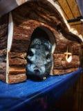 Wenig Chinchilla, die aus seinem Holzhaus heraus späht stockbild