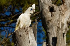Wenig Corella - Cacatua sanguinea Vogel - einziehend auf die Niederlassung nahe Melbourne, Australien lizenzfreies stockfoto