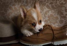 Wenig Corgiwelpe, der auf Schuh kaut lizenzfreies stockbild