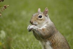 Wenig Eichhörnchenessen Lizenzfreies Stockfoto