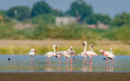 Wenig Flamingo Lizenzfreie Stockbilder