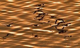 Wenig Flamingo Wissenschaftlicher Name: Phoenicoparrus-Minderjähriger Fliegen-Flamingos über dem roten Wasser von See Natron bei  stockfotos