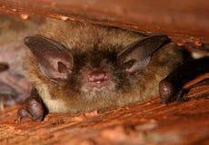 Wenig Fledermaus-Schlafen Stockbilder