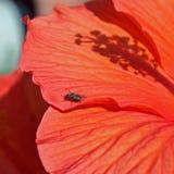Wenig Fliege auf einer Mohnblume Lizenzfreie Stockfotos