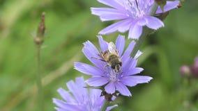 Wenig Fliege in den Blumenstaubgefässen stock footage