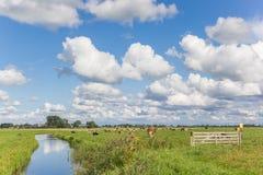 Wenig Fluss durch eine niederländische Landschaft mit Kühen Stockbilder