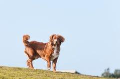 Wenig Flusshundeprofil Stockbilder