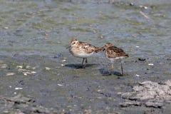Wenig Flussuferläufervogel Lizenzfreie Stockfotos