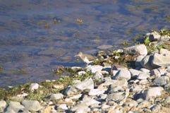 Wenig Flussuferläufer Lizenzfreies Stockfoto