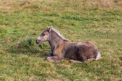 Wenig Fohlen auf dem Gras Lizenzfreies Stockbild