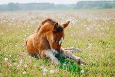 Wenig Fohlen, das einen Rest im grünen Gras hat lizenzfreie stockbilder
