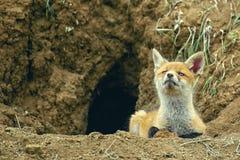 Wenig Fox, der nahe seinem Loch liegt und die Kamera betrachtet Lizenzfreie Stockfotografie