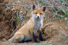 Wenig Fox, der nahe seinem Loch liegt und die Kamera betrachtet Lizenzfreies Stockbild