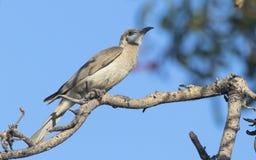 Wenig Friarbird mit Hintergrund des blauen Himmels lizenzfreie stockfotos